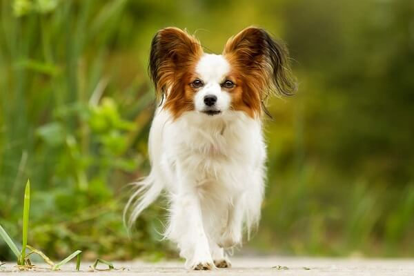 سگ نژاد پاپیلون