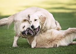 چرا سگها می جنگند؟