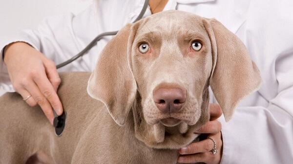 چگونه می توانم به سلامت یک سگ مسن کمک کنم؟