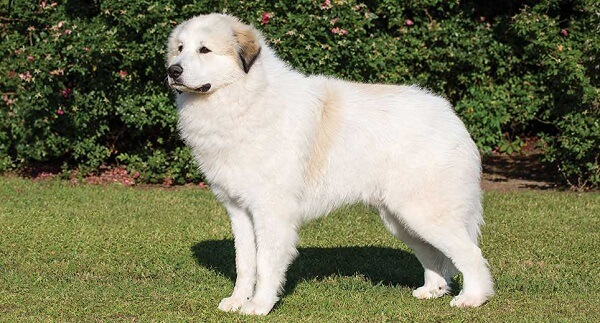 سگ نژاد گریت پیرنیز