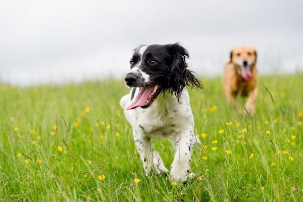 بازی کردن فعالیت های ذهنی را در سگ ها تقویت می کند