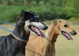 نژادهای سگ با گردن بلند